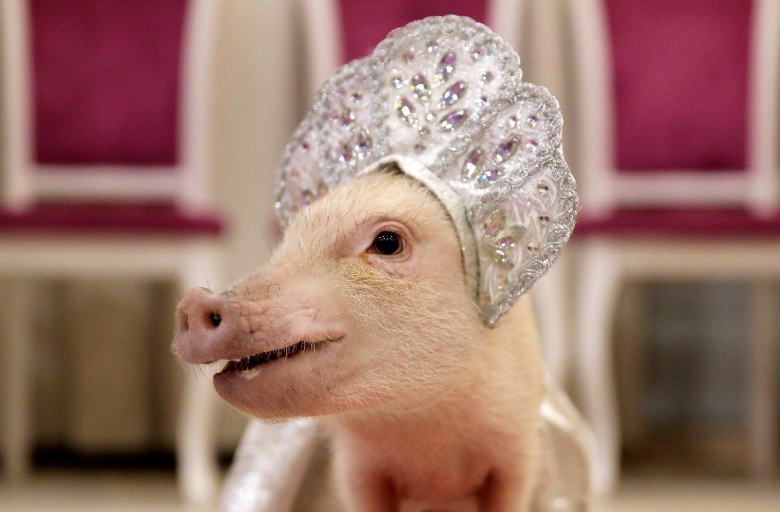 ligos nuo kiaulių sąnarių